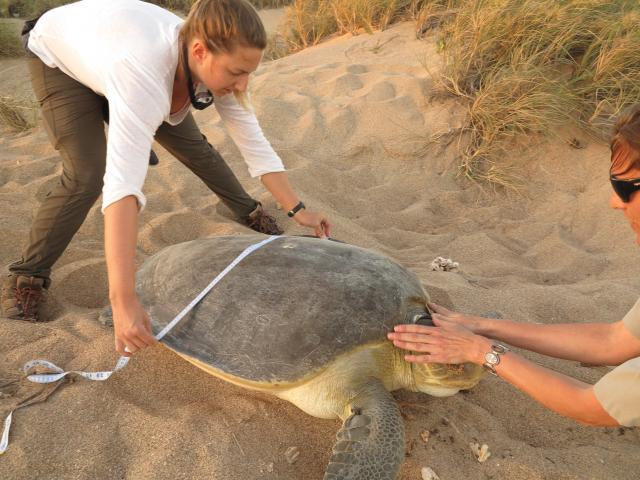 Volunteer Rebecca Evans and Parks and Wildlife officer Hannah Hampson measuring a flatback turtle.