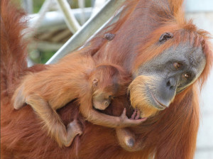 Orangutan - mother and baby at Perth zoo