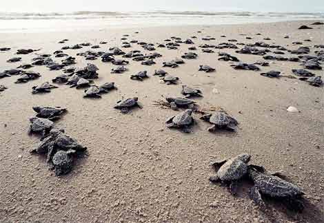 sea turtles nesting